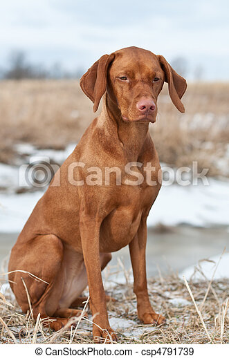Vizsla Dog Sitting in a Snowy Field - csp4791739