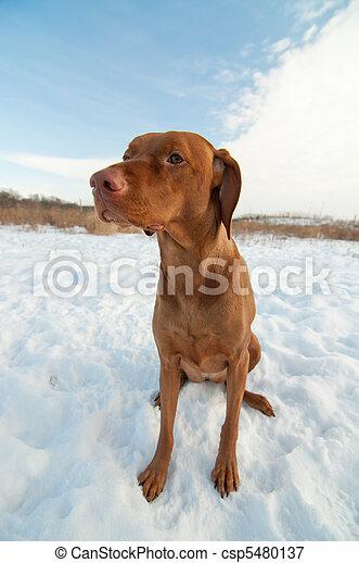 Vizsla Dog Sitting in a Snowy Winter Field. - csp5480137