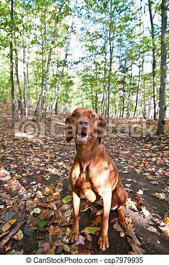 Vizsla dog sitting in autumn leaves - csp7979935