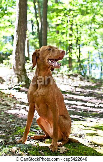Vizsla Dog Sitting in the Forest - csp5422646