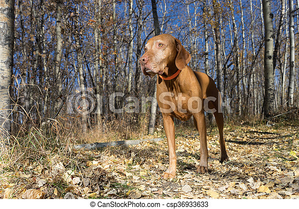 vizsla dog standing in the autumn forest - csp36933633