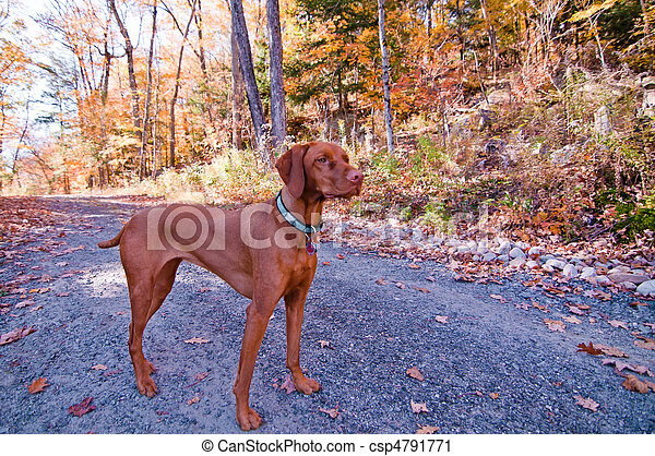 Vizsla Dog Standing on a Road in Autumn - csp4791771