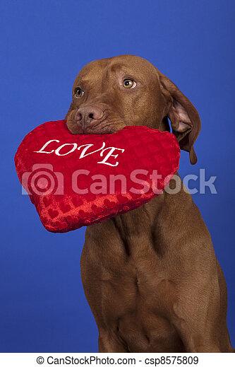 vizsla dog with red heart - csp8575809