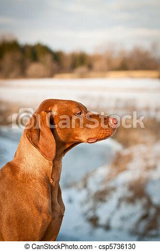 Vizsla (Hungarian pointer) Dog in Profile - csp5736130