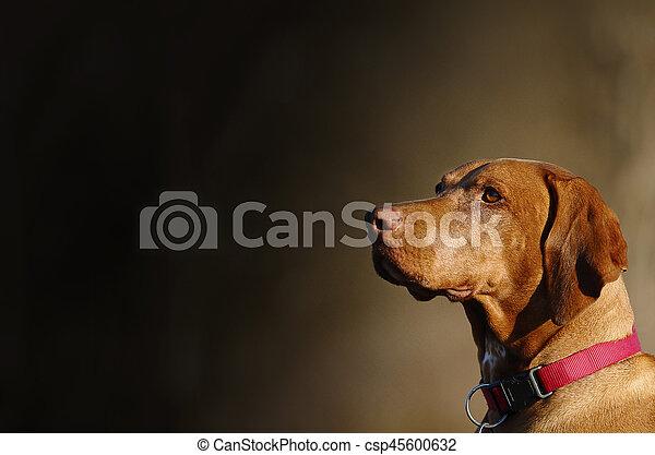 Vizsla, Hungarian pointer dog - csp45600632