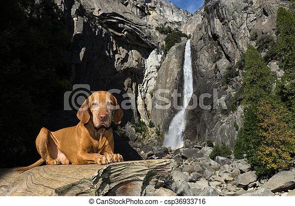 Perro Vizsla en Yosemite - csp36933716