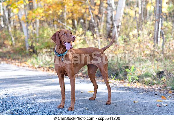 Vizsla Portrait on a Road with Autumn Leaves - csp5541200