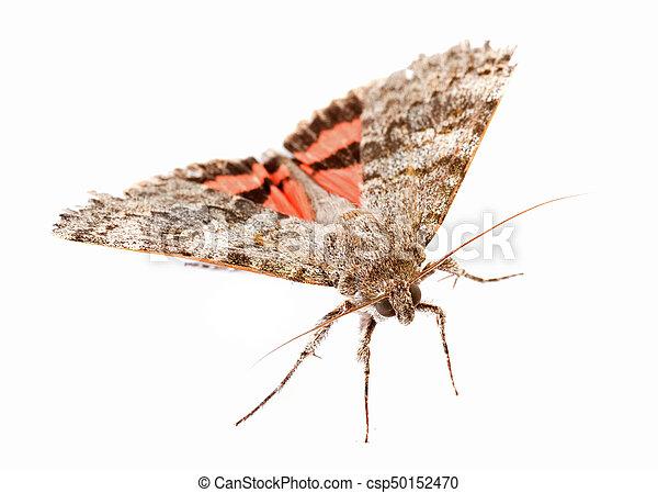 vlinder, rood, underwing - csp50152470