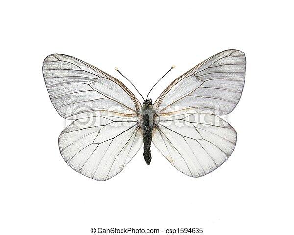 vlinder, witte , (aporia, crataegi), black-veined - csp1594635