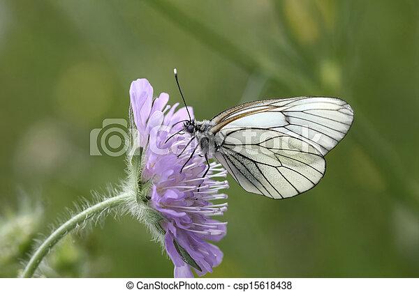 vlinder, witte , -, black-veined - csp15618438