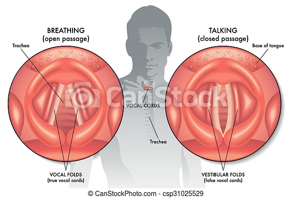 Medical illustration of the anatomy of the vocal cords.