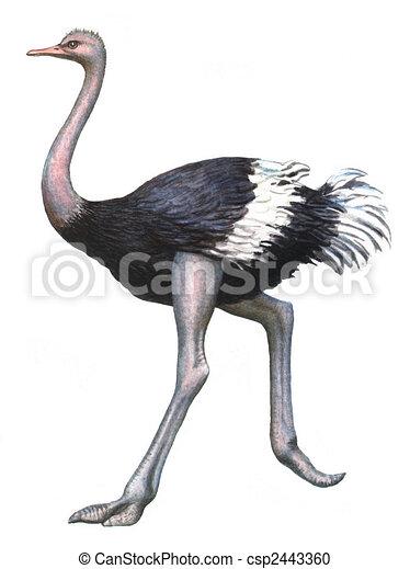 Vogel strau gef rbt freigestellt strau vogel papier hintergrund wei es zeichnung - Autruche dessin ...