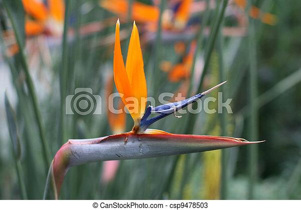 Vogel von Paradis - csp9478503