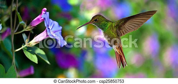 vol, pourpre, sur, colubris), (archilochus, fleurs, colibri - csp25850753