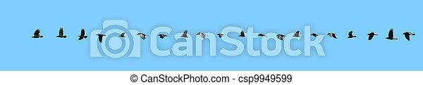 vol, sequence., corbeau - csp9949599