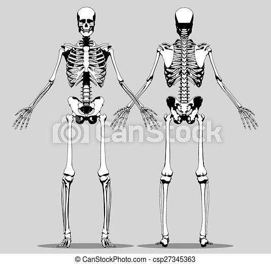 Vorderansicht, skelett, mensch zurück. Graue , skelett, zurück ...
