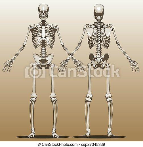 Vorderansicht, skelett, mensch zurück. Skelett, zurück, abbildung ...
