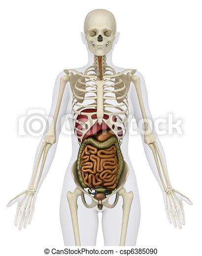 Vorhergehend, abdominal, skelett, -, weibliche , organe, ansicht ...