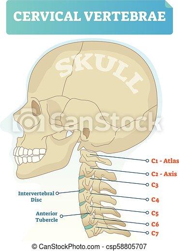 Vorhergehend, c3, totenschädel, intervertebral, schema, tuberkel ...