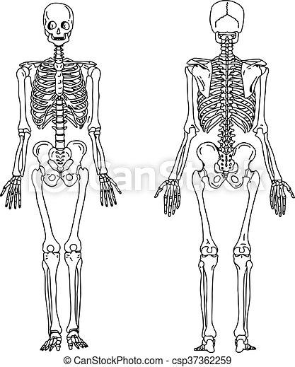 Vorhergehend, ziehen, skelett, system., knochig, abbildung, hand ...