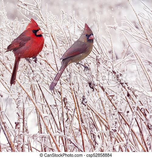 vrouwlijk, mannelijke , noordelijke kardinalen - csp52858884