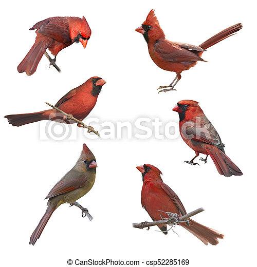 vrouwlijk, mannelijke , noordelijke kardinalen - csp52285169