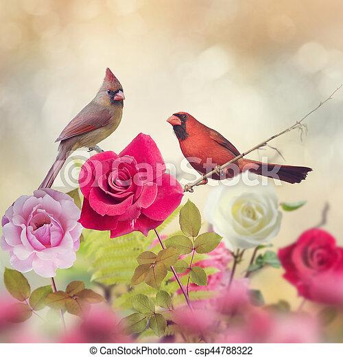 vrouwlijk, mannelijke , noordelijke kardinalen - csp44788322
