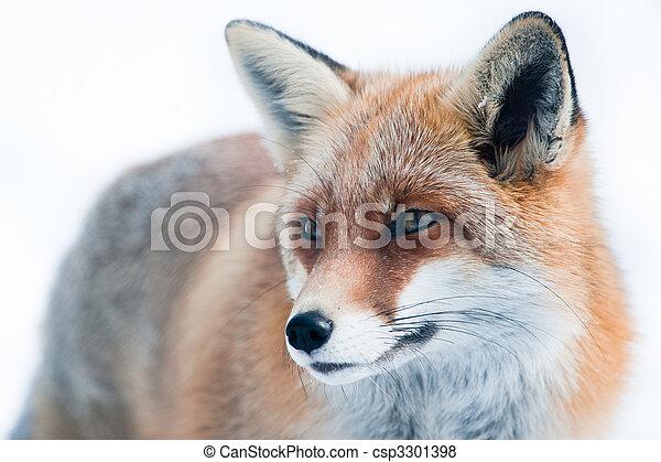 vulpes, (lat., vulpes), zorro, rojo - csp3301398