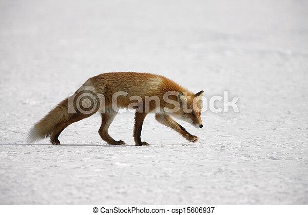 vulpes, zorro, rojo - csp15606937