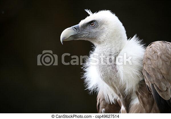 Vulture - csp49627514