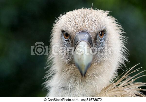Vulture - csp51678072