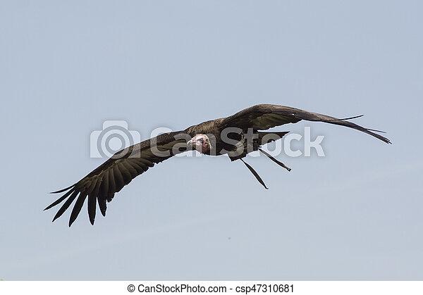 vulture - csp47310681