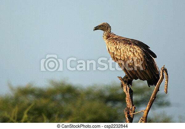 Vulture - Serengeti, Tanzania, Africa - csp2232844