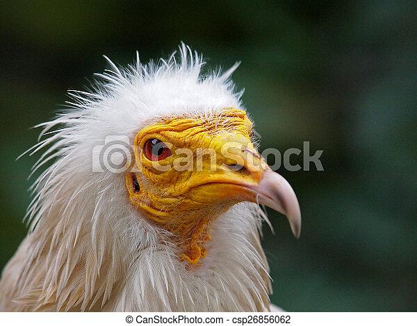Vulture - csp26856062