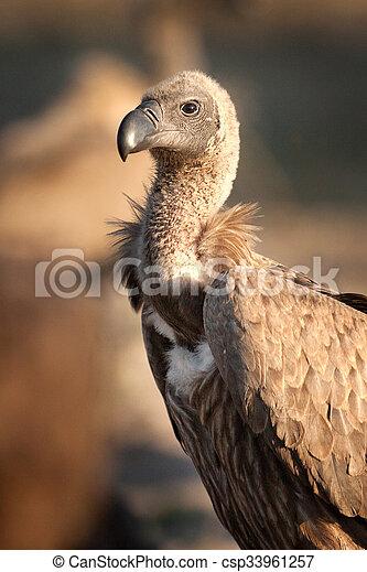 Vulture - csp33961257