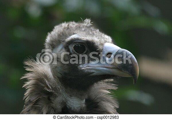 Vulture - csp0012983