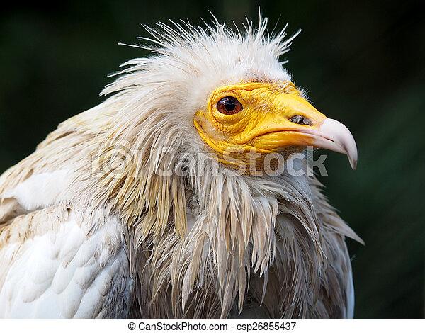 Vulture - csp26855437