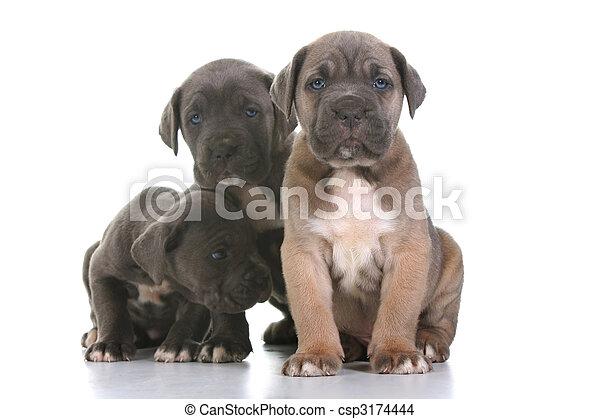 a1b89078 włoski, corso, trzcina, szczeniak, dog angielski