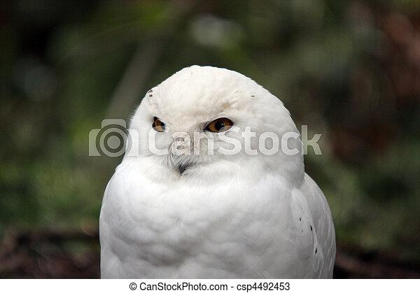 wa., treck, verschneiter , foto, owl., tierwelt, park, nordwesten, genommen - csp4492453