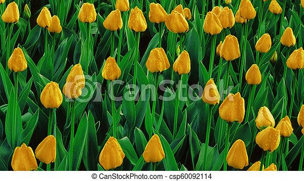 wachsen, tulpen, gelbes feld - csp60092114