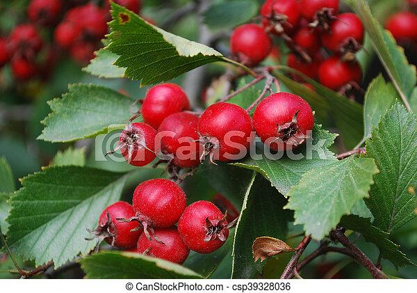 Super Wachsen, weißdorn , t, rote beeren. Weißdorn , kleingarten, reif #JM_34