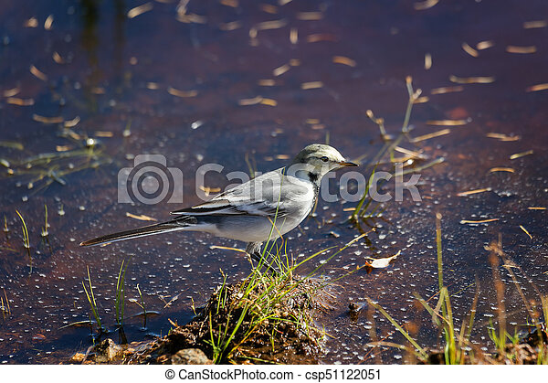wagtail near the swamp - csp51122051