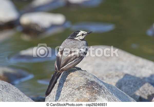 wagtail sitting on a rock - csp29246931