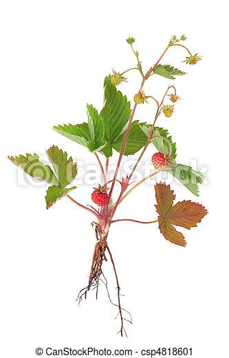 walderdbeere, pflanze - csp4818601