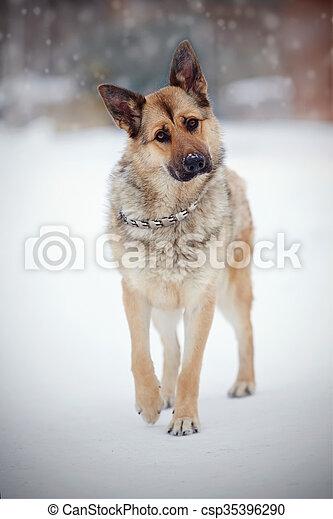 Schaf Hund