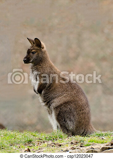 wallaby - csp12023047
