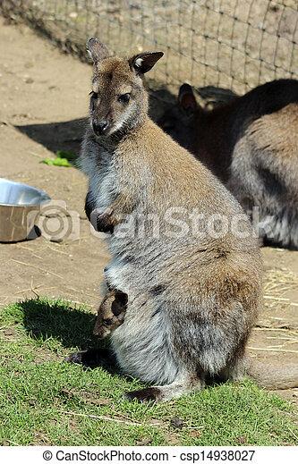 wallaby - csp14938027