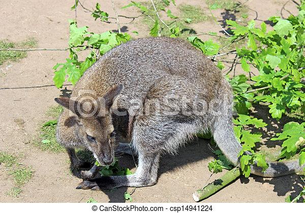 wallaby - csp14941224