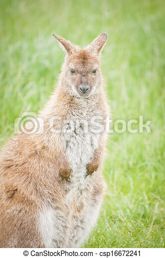 wallaby - csp16672241