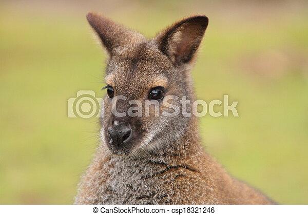 wallaby - csp18321246